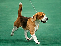 westminster winner